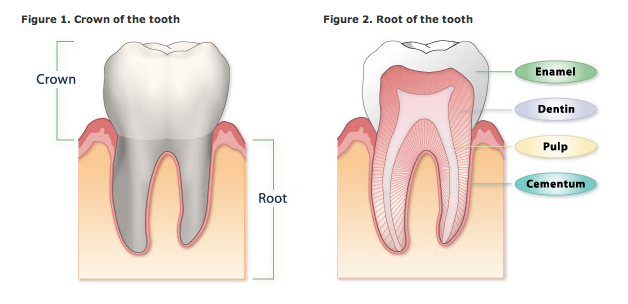 Know Your Smile: Anatomy of a Tooth | Oral and Maxillofacial Surgery ...
